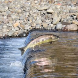 Salmon - Amazing Canadian Wildlife Blog1