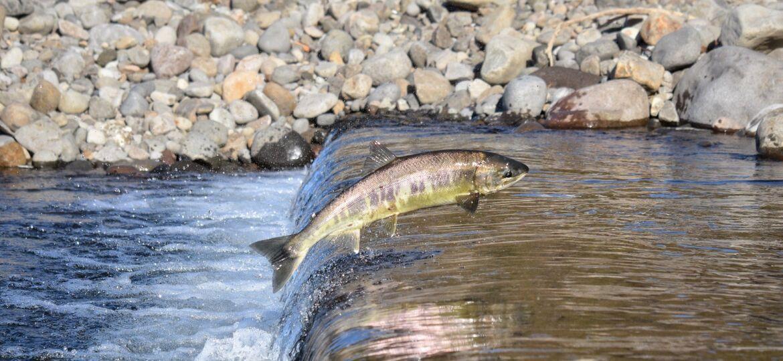 Salmon - Amazing Canadian Wildlife Blog1