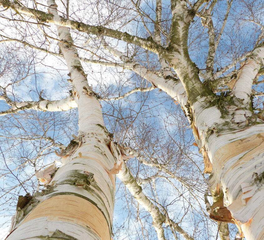 Making a Birch Bark Basket blog1