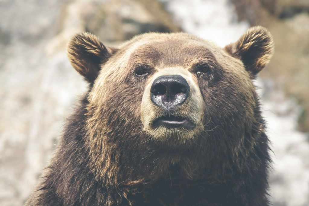 Grizzly Bear - Amazing Canadian Wildlife Blog1