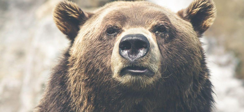 Grizzly Bear - Amazing Canadian Wildlife Blog1