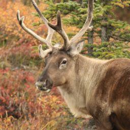 Caribou - Amazing Canadian Wildlife Blog1