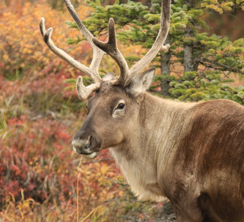 Caribou - Amazing Canadian Wildlife Blog1