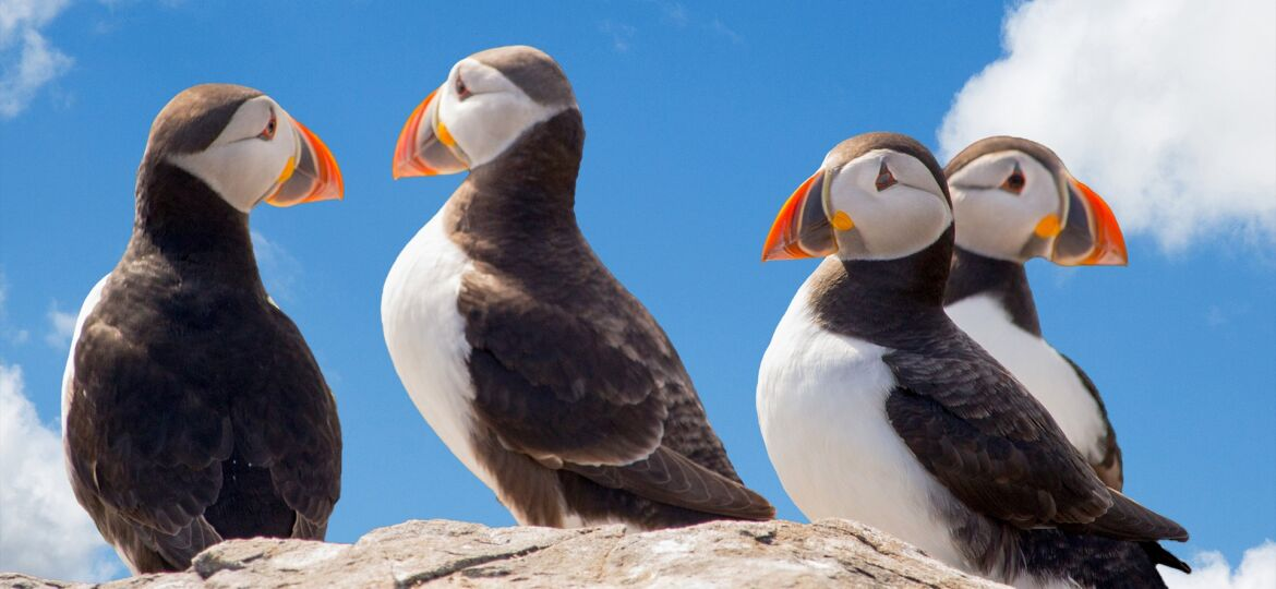 Puffin - Amazing Canadian Wildlife Blog 1