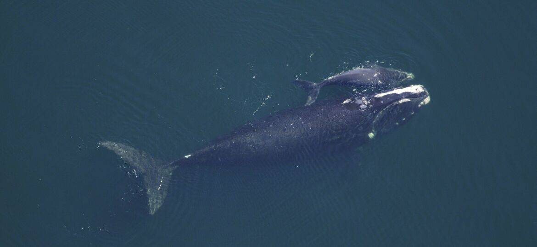 North Atlantic Right Whale Blog1