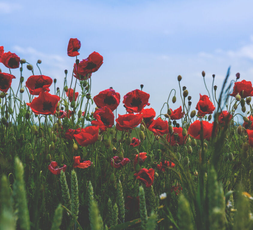 Canva - Red and Black Flower on Green Grass Under Blue Clear Sky during Daytime (1)