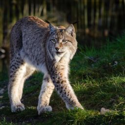 Lynx - Amazing Canadian Wildlife Blog 1