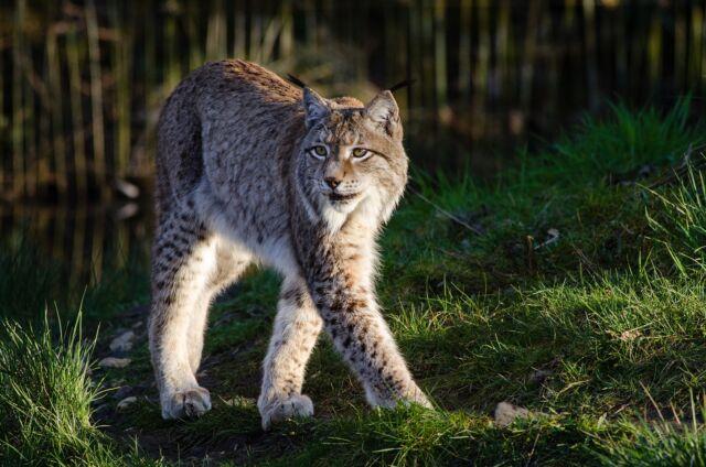 Lynx - Amazing Canadian Wildlife Blog 1